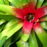 bromeliad in cairns tropical garden